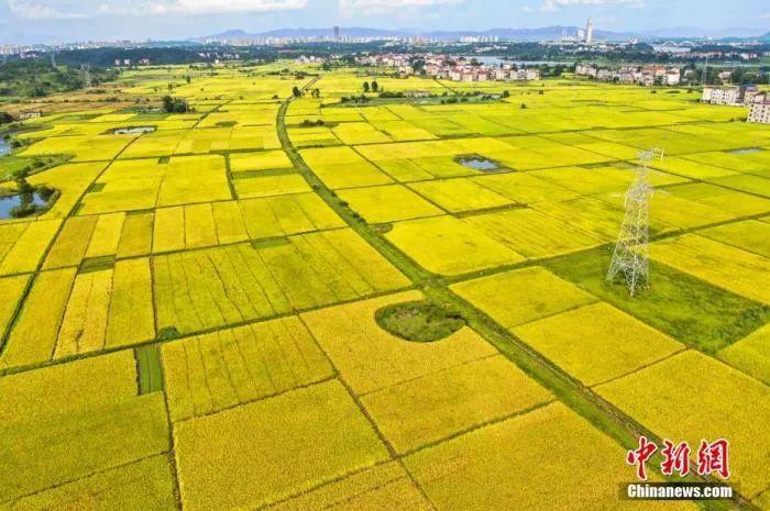 资料图:一块块金黄色的稻田镶嵌在大地,风光旖旎,呈现出一派丰收景象。李军 摄