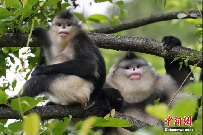 云南白马雪山国家级自然保护区的滇金丝猴。<a target='_blank' href='http://bipolarintervention.com/'>中新社</a>记者 潘旭临 摄