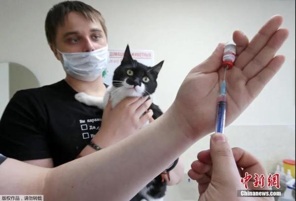 资料图:当地时间2021年6月1日,俄罗斯首都莫斯科,俄罗斯推出了一款名为Carnivac-Cov的动物疫苗。此前试验显示,疫苗能在狗、猫、狐狸和水貂体内产生新冠病毒抗体。