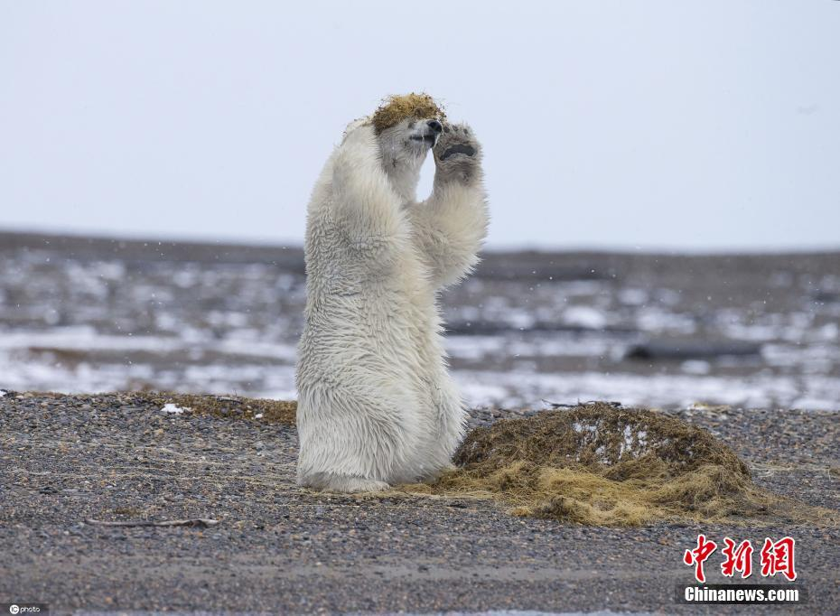 """北极熊头戴""""海藻""""当假发 超有时尚感画面逗趣"""