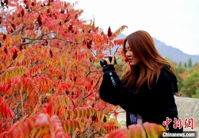宁夏石嘴山:贺兰山下红叶美 踏秋赏景正当时